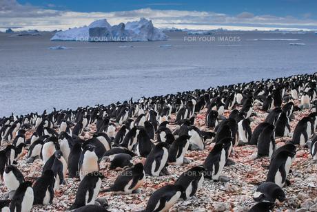 penguinsの素材 [FYI00668060]