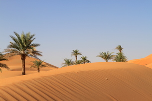 lonely palm trees in the desertの写真素材 [FYI00668097]