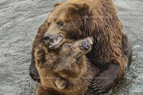 bearsの素材 [FYI00668137]