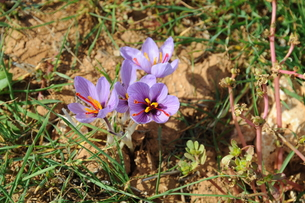 spain - saffron on the field and in the basketの写真素材 [FYI00668359]