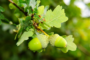 green acorns on branch\r\nの写真素材 [FYI00669237]