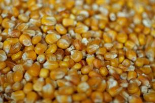 corn on the cobの写真素材 [FYI00669615]