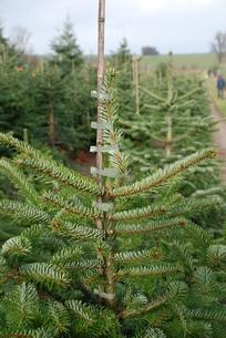 nursery nordmann fir nordmann fir christmas tree christmas conifer nordmannianaの写真素材 [FYI00669628]