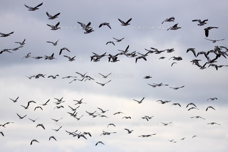 barnacle geese in flightの素材 [FYI00669707]