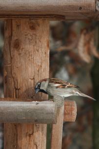 house sparrow - sparrow - passer domesticusの写真素材 [FYI00670062]