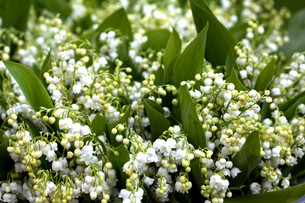plant,flower,lily of the valleyの写真素材 [FYI00671452]