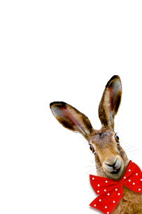 laughing bunnyの写真素材 [FYI00671492]