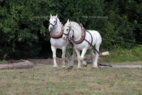 two white horses skidding at workの素材 [FYI00672499]