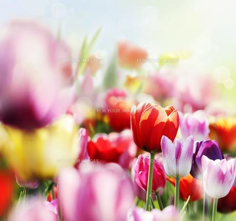 tulip in lightの写真素材 [FYI00672609]
