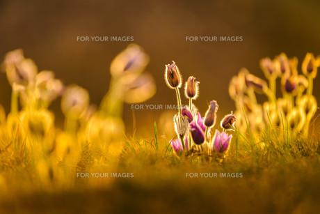 plants_flowersの素材 [FYI00672952]