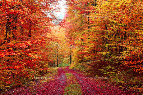 superb colors autumn forest road in octoberの素材 [FYI00673644]
