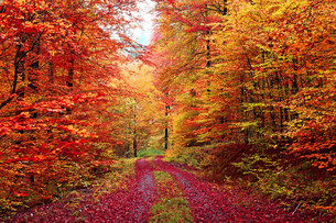 superb colors autumn forest road in octoberの写真素材 [FYI00673644]