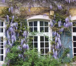 wisteriaの写真素材 [FYI00674121]