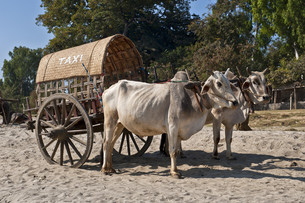 oxen myanmarの写真素材 [FYI00674418]