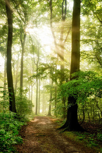 morning sun shines in the foggy forestの写真素材 [FYI00674617]