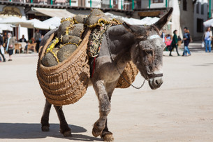 donkey carrying a sunflower in chinchon near madridの写真素材 [FYI00675047]