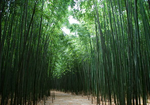 way through the bamboo forestの素材 [FYI00675287]