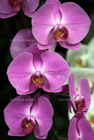 thailand chiang maiの素材 [FYI00675349]