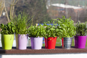 herbs in pots and buckets on the balconyの写真素材 [FYI00675724]