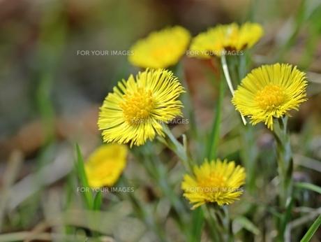 blossoming coltsfoot (tussilago farfara)の素材 [FYI00675866]