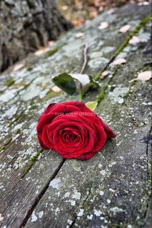 rose on stoneの素材 [FYI00677646]