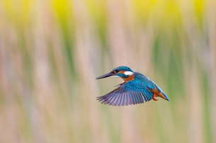 kingfisherの素材 [FYI00679686]