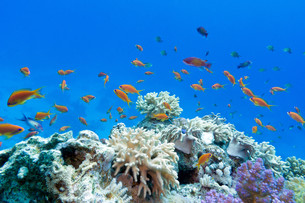 coral reef with soft and hard corals with exotic fish anthias on the bottom of tropical sea on blue water backgroundの写真素材 [FYI00680240]