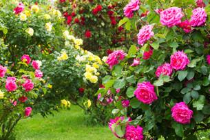 rosebushの素材 [FYI00680284]
