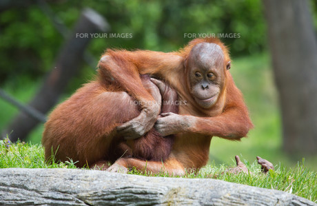 gambling orangutansの素材 [FYI00680551]
