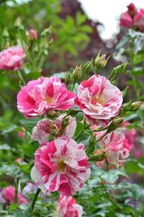 rosebushの素材 [FYI00681309]