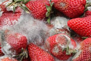 rotten strawberriesの素材 [FYI00681454]