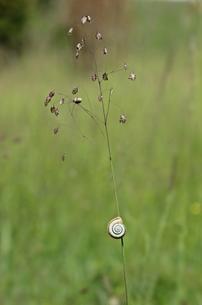 western heath snail (helicella itala) at quaking (briza media)の写真素材 [FYI00681607]