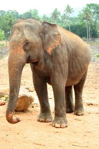 elephant sri lankaの素材 [FYI00681614]
