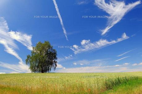 birch in wheat fieldの写真素材 [FYI00683250]