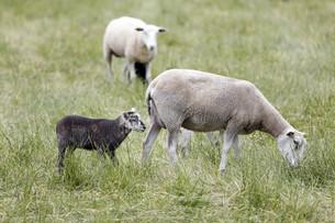 sheepの写真素材 [FYI00683299]
