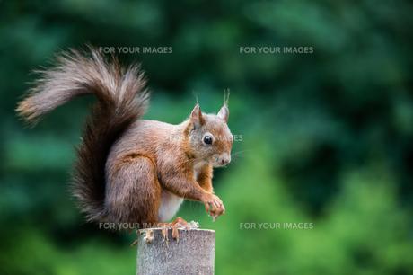 squirrel sciurus vulgaris image 6の素材 [FYI00683739]