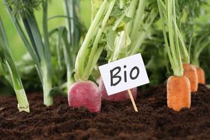 healthy eating organic vegetables in gardenの写真素材 [FYI00683866]