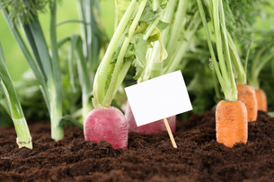 fresh vegetables in the garden with a blank signの写真素材 [FYI00683869]