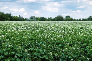 potato field in bloomの写真素材 [FYI00684003]