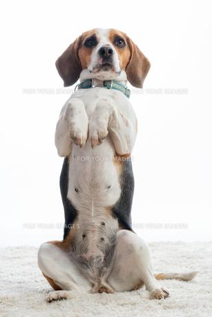 beagle makes malesの写真素材 [FYI00684067]