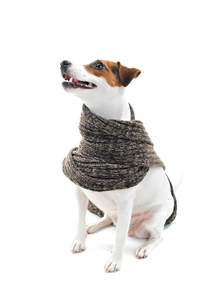 dog with scarfの写真素材 [FYI00684106]