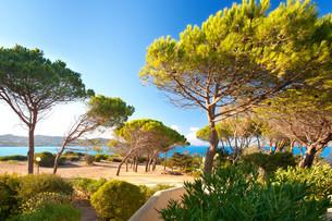 pine on the beach in sardiniaの写真素材 [FYI00684287]