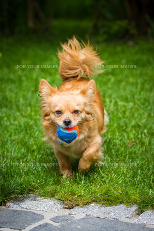 little dog with ballの写真素材 [FYI00684656]