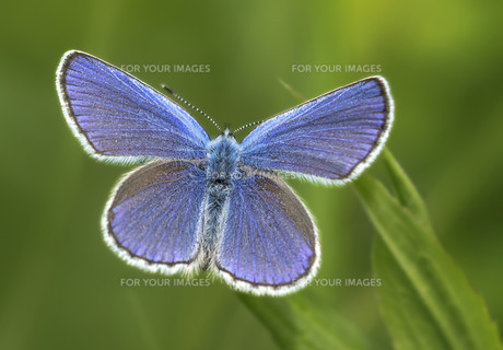 red clover bluebirdの写真素材 [FYI00684831]