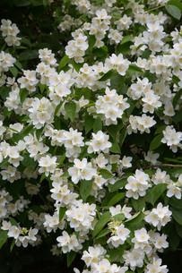 mock orange flowering in springの写真素材 [FYI00684974]