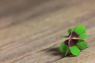 lucky cloverの写真素材 [FYI00685310]