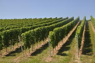 vineyardの写真素材 [FYI00685654]
