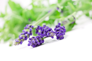 exempted lavenderの写真素材 [FYI00685692]