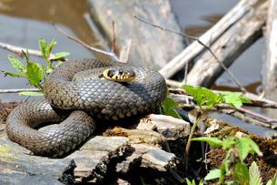 reptiles_amphibiansの素材 [FYI00685838]