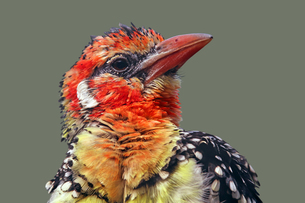 red-and-yellow barbet trachyphonus erythrocephalus before grayの写真素材 [FYI00685882]